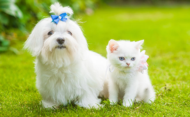 White maltese dog and chinchilla kitten sitting together on green grass.