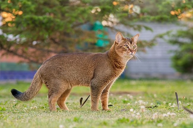 Abyssinian cat hunts a bird in the open air